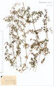 Galium album ssp. album: Niederrhein, Rheinufer, leg. Sehlmeyer (Herb. NHV) (Foto: NHV Bonn)