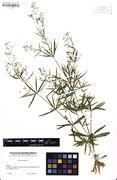 Galium aristatum: Bayern, Kreis Miesbach, leg. Angerer (Herb. M) (Foto: Bot. Staatssammlung München)
