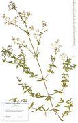 Galium boreale: Beleg mit jungen Früchten. Bonn, Bot. Gärten (Herb. Wisskirchen) (Foto: Rolf Wißkirchen)