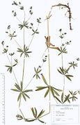 Galium intermedium: Hessen, Frankfurt/Main, Palmengarten (Herb. Wisskirchen) (Foto: Rolf Wißkirchen)