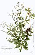 Galium intermedium: Sachsen, Steinberg, leg. Reimann (Herb. GLM) (Foto: Rolf Wißkirchen)