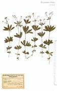 Galium odoratum: Moselgebiet, Bengel bei Alf, leg. H. Andres (Herb. NHV) (Foto NHV Bonn)