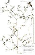 Galium palustre subsp. palustre: Südeifel, Prümaue bei Kinzenbach (Herb. Wisskirchen) (Foto: Rolf Wißkirchen)