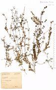 Galium saxatile: Saarland, Merziger Wald, leg. Schuhler (Herb. NHV) (Foto: NHV Bonn)