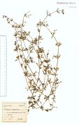 Galium spurium var. echinospermum: Bonn-Kessenich, leg. F. Wirtgen (Herb. NHV) (Foto: NHV Bonn)