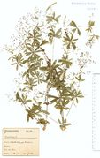 Galium sylvaticum: Eifel, Hohe Acht, leg. F. Wirtgen (Herb. NHV) (Foto: NHV Bonn)