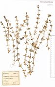 Galium tricornutum: Westeifel, Jünkerath, leg. F. Wirtgen (Herb. NHV) (Foto: NHV Bonn)