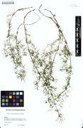 Galium truniacum: Bayern, Gebersberg, leg. Eberlein (Herb. M) (Foto: Bot. Staatssammlung München)