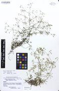 Galium valdepilosum: Bayern, Oberfranken, bei Behringsmühle, leg. Lippert & Merxmüller (Herb. M) (Foto: Bot. Staatssammlung München)