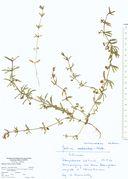 Galium verrucosum: Westfalen, Porta Westfalica-Kleinenbremen, leg. K. Fahrenholtz (Herb. MSTR) (Foto: Rolf Wißkirchen)