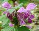 Blüte purpurn oder rosa