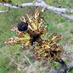 Gemeine Esche: Blüte– Geri-oc, CC BY-SA 3.0