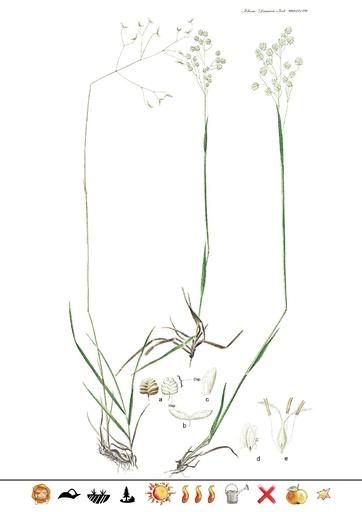 Gemeines Zittergras (Pflanzentafel Natura Miriquidica e.V.).pdf