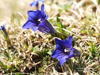 Gentiana clusii Perr. & Song.