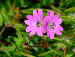Blüte– Aiwok, CC BY-SA 3.0