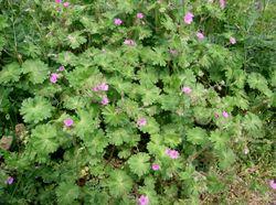 Weicher Storchschnabel: Pflanze– KENPEI, CC BY-SA 3.0