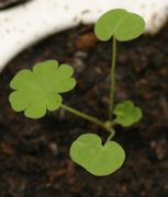 Nierenförmiges Keimblatt, knapp 1 cm breit. (Bild: W. Wohlers, JKI)