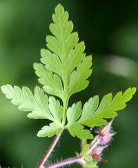 Geranium robertianum 3 (G. Nitter).jpg