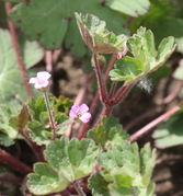 Ein junger Trieb und Blüten, die direkt aus der Rosette entsprießen. (Bild: W. Wohlers, JKI)
