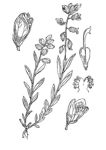 Gewöhnliche Kreuzblume (Pflanzentafel Natura Miriquidica e.V.).pdf