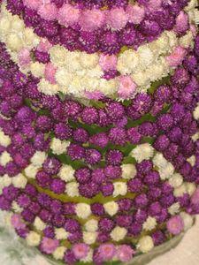 Gomphrena globosa fleurs Laos.jpg