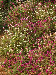Gomphrena globosa plant Laos.jpg