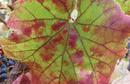 Grapevine red blotch virus PlantHealth Australia.png