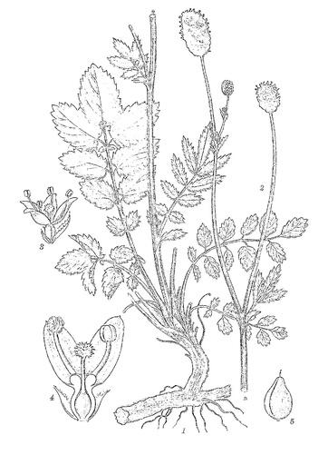 Großer Wiesenknopf (Pflanzentafel Natura Miriquidica e.V.).pdf