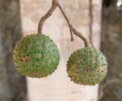 alt=Description de l'image Guazuma ulmifolia fruits.jpg.