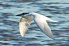 Gull-billed Tern.jpg