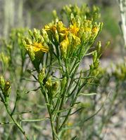 Gutierrezia sarothrae 3.jpg
