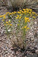 Gutierrezia sarothrae IPM5095069.jpg