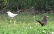 Links: Albino-Amsel