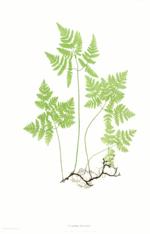 Rupprechtsfarn (Gymnocarpiumrobertianum)