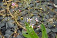 Gypsophila perfoliata, Blütenstand