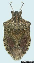 Halyomorpha halys IPM5203054.jpg