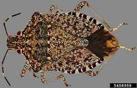 Halyomorpha halys IPM5458958.jpg