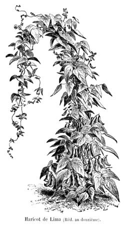Haricot de Lima Vilmorin-Andrieux 1904.png