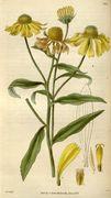 Helenium autumnale - 001x.jpg