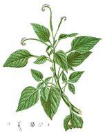 Heliotropium indicum Blanco1.184-cropped.jpg