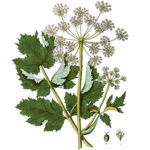 Wiesen-Bärenklau, oberer Teil der Pflanze; 1 Blüte, 2 Frucht—Abbildung nach Kerner (Bd.4, 1791) Tafel 324 verändert