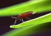 Hessian fly.jpg