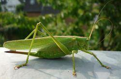 Grünes Heupferd: Weibchen - Joachim K. Löckener, CC BY-SA 3.0