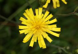 Glattes Habichtskraut: Blüte– Danny Steven S., CC BY-SA 3.0