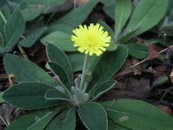 Kleines Habichtskraut: Pflanze– Игнатьев Сергей, CC BY-SA 3.0