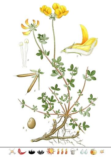 Hornklee (Pflanzentafel Natura Miriquidica e.V.).pdf