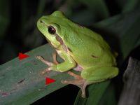 Haut glatt, Farbe (fast) komplett grün, runde Haftscheiben an den Spitzen der Zehen