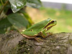 Europäischer Laubfrosch: Alttier (adult) - Ineptus, Copyrighted free use