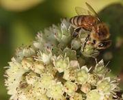Die Fetthenne hat Nektardrüsen, die von Bienen abgesucht werden. (Bild: W. Wohlers, JKI)