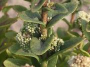 Aus allen oberen Blattachseln treiben Blüten. (Bild: W. Wohlers, JKI)
